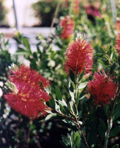 Descripci n de arbustos ornamentales for Arbustos ornamentales de exterior